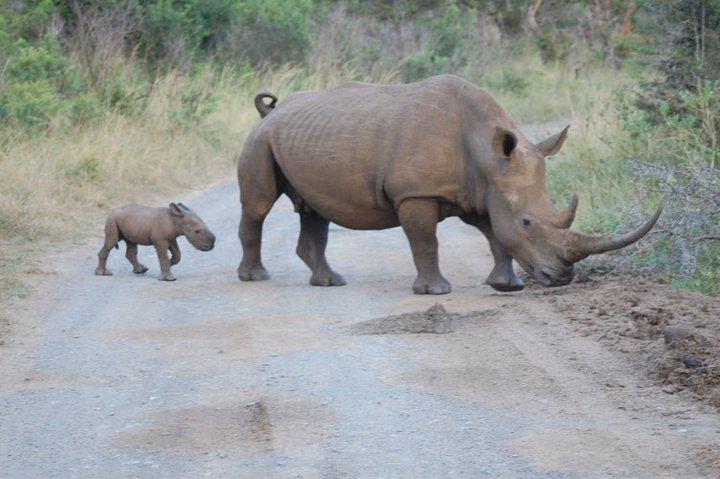 white rhino & calf